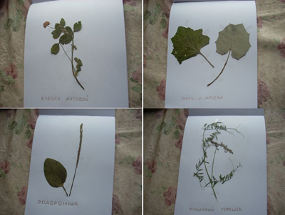 Тематическая неделя «В лесу»: гербарий