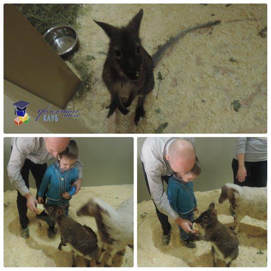 Контактный зоопарк: кенгуру и овечка