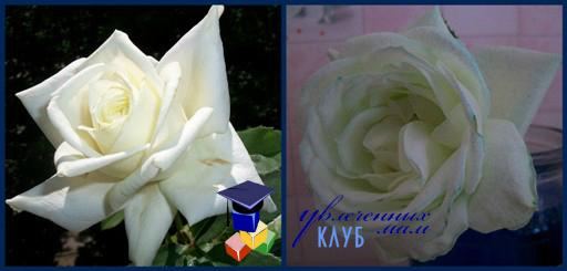 опыты для детей с цветом: синяя роза